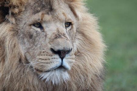 Close up Lion portrait against green grass.