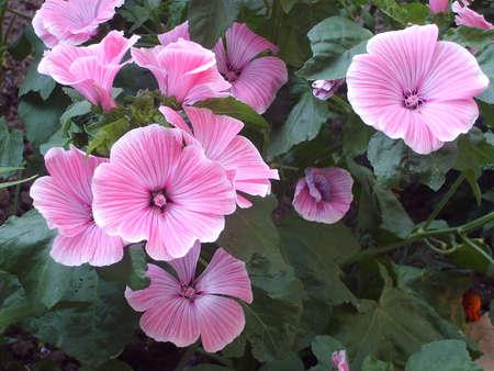 florets: Bush of beautiful pink small florets