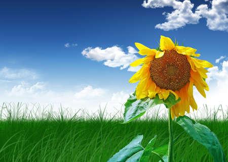 harvest sunflower on green field on background sky photo