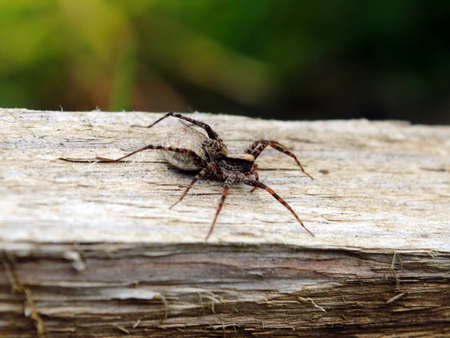 Small usual spider on wooden board photo