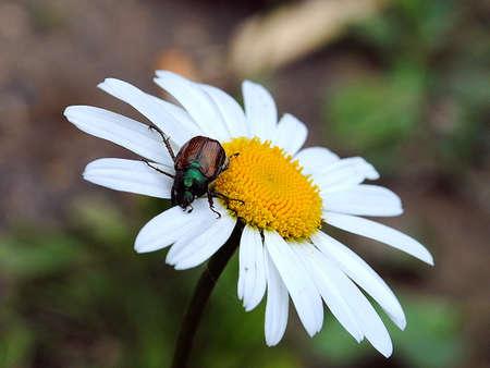 daisywheel: Bug sitting flower on meadow to daisywheel close-up.