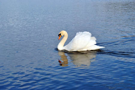 The white swan is floating on water. Stock Photo