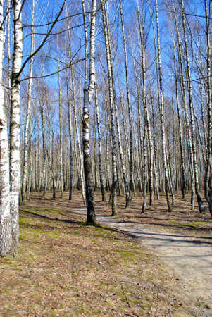 Russian birch in spring forest on a background of blue sky  photo