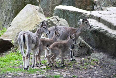 mountain goats: specie della famiglia di capre di montagna Archivio Fotografico
