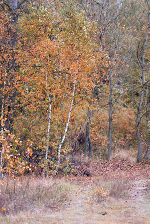 frondage: autumn deciduous forest. birch with faded yellow leaves