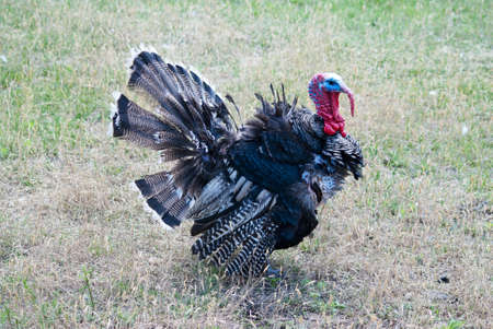 turkey feather: poultry turkey walking on grass