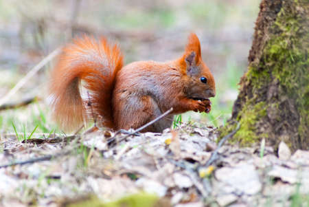 Wild red squirrel eating a nut in the woods Stock Photo