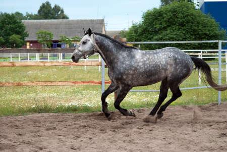 white horse dapple galloping in the paddock
