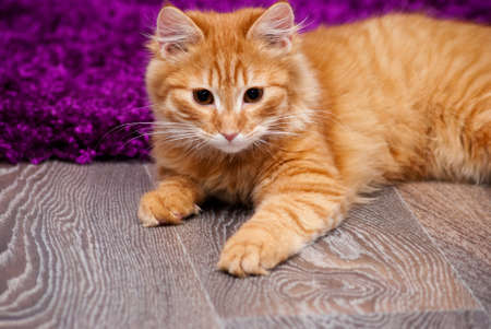 nice and fluffy little ginger kitten lying on the floor