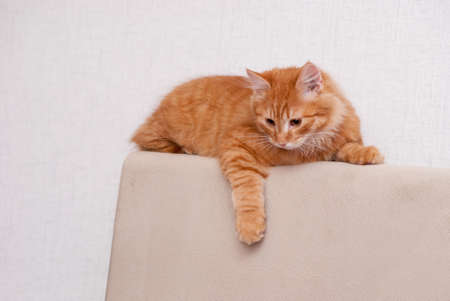 nice and fluffy little red kitten looking down Stock Photo