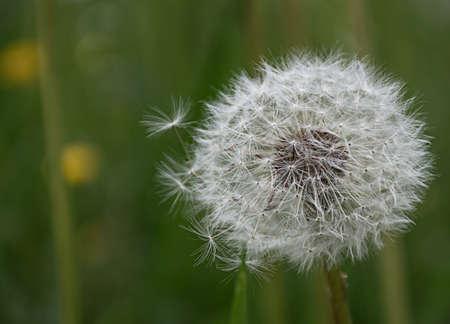 wild white flower dandelion on green meadow