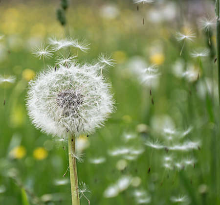 dandelion flowers flying in the wind