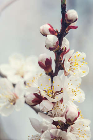 a branch blooming with white flowers against a blue sky Stock Photo