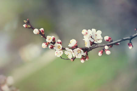 natural background. spring blossoming tree branches with white flowers. Stock Photo