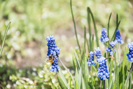 a bee collects nectar on a lupine flower. natural natural grass background with blur and bokeh Stock Photo