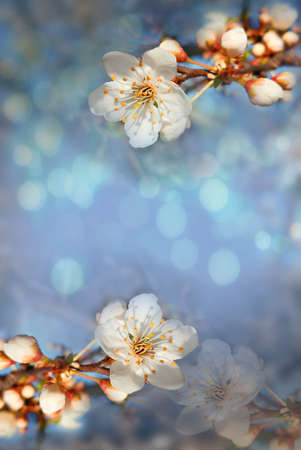 branch of a blossoming tree with white flowers in spring against a background of blue sky and bokeh Stock Photo