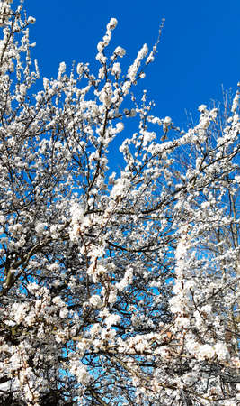 blooming tree with white flowers in spring on a background of blue sky