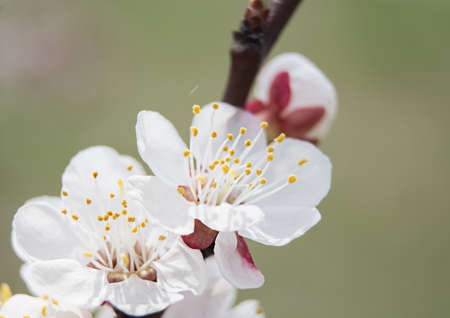 close-up of a white flower on a cherry branch in the spring flowering season. soft focus