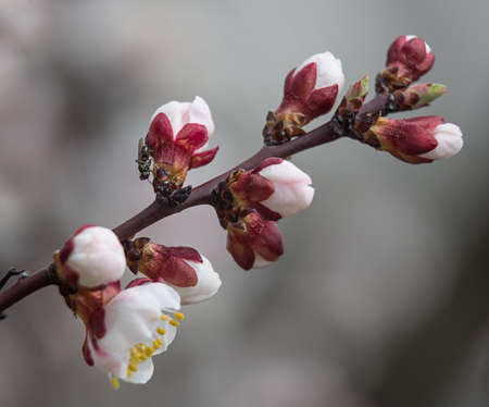 blooming cherry branch with white flowers and insect. soft focus