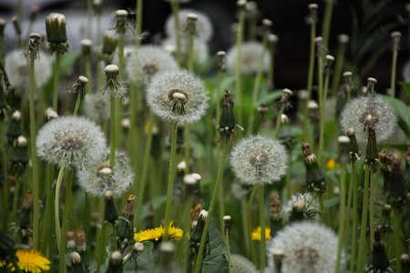natural background of dandelion flowers in summer