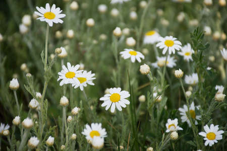 Natural background of summer chamomile flowers Stock Photo