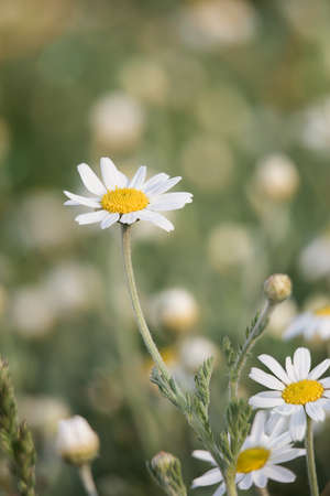 gentle natural summer green background of grass and chamomile flower