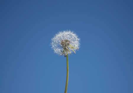white fluffy dandelion on a clear blue sky background Stock Photo