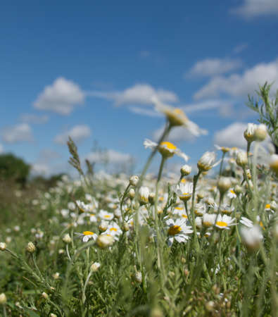 field of summer flowers of white chamomile on a background of blue sky