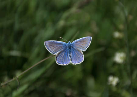 blue butterfly on a flower on a clear day against a background of green grass