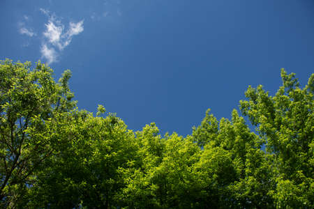 natural background of green fresh foliage trees and bright blue sky