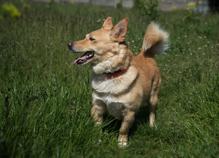 red-haired dog with a tick collar walks on green grass in a field