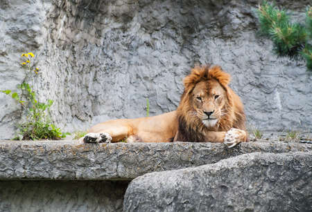 portrait of a calm lion lying on a stone Stock Photo