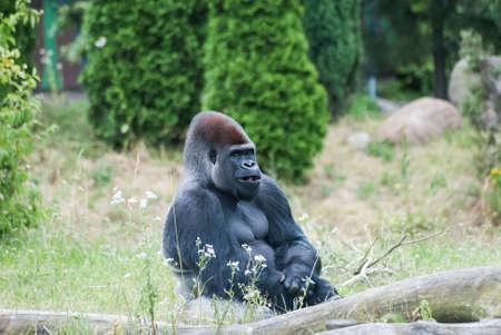 male black big gorilla sitting on the grass Stock Photo