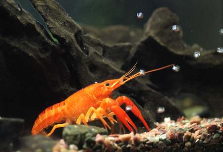 Mexican orange freshwater crayfish in the aquarium with with air bubbles, selective focus and space for text