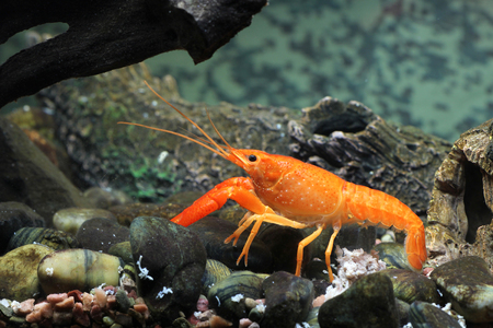 Mexican orange freshwater crayfish in the aquarium, selective focus and space for text