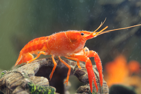 Mexican orange freshwater crayfish in the aquarium, selective focus Stock Photo