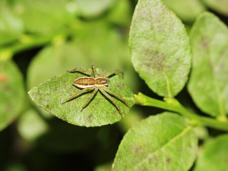 Raft spider, dolomedes fimbriatus with prey on green leaf, macro photo