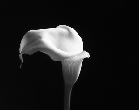 Black and white calla flower on a dark background, selective focus and space for text