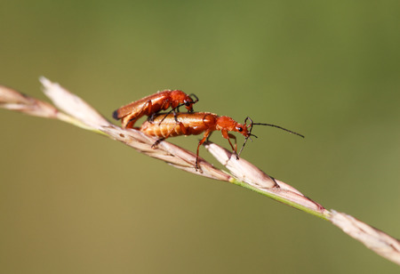 militaire sexy: A pair of common red soldier beetles Rhagonycha fulva mating, select focus, close-up