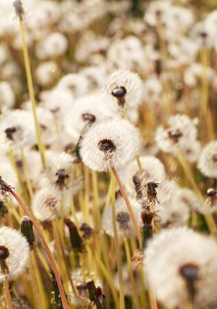 downy: White downy andelions on the meadow at sunset, toned, selective focus Stock Photo