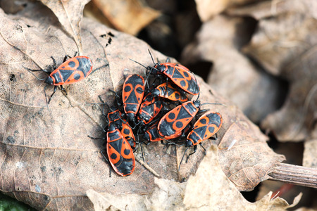 firebug: The firebug, Pyrrhocoris apterus, insect on the dry autumn leaf, some beetles in focus, some are not