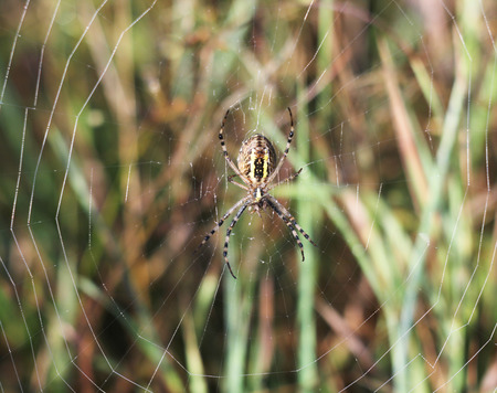 arachnida: A wasp spider Argiope bruennichi at dawn sitting on a web, selective focus