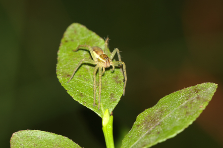 pisaura mirabilis: Raft spider, dolomedes fimbriatus isolated on green leaf, macro photo Stock Photo
