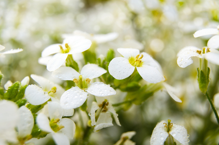 water cress: White arabis caucasica flowers with drops of water, macro. Selective focus, some flowers in focus, some are not