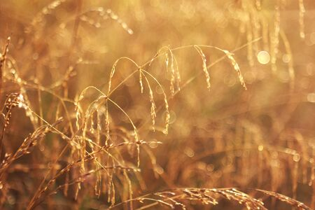 fescue: Dry grass fescue Festuca arundlnacea at sunset, selective focus on some of the branches Stock Photo