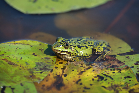 lessonae: Green water frog Rana lessonae, close up, selective focus on head