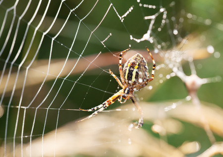 bruennichi: A wasp spider Argiope bruennichi at dawn sitting on a web with dew drops, selective focus