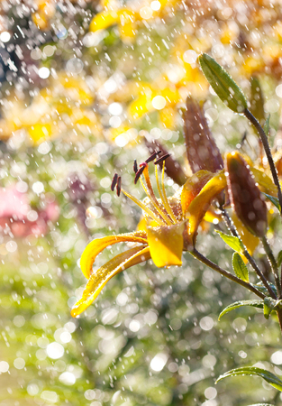 wide  wet: Yellow lily flower in the rain, selective focus, macro Stock Photo