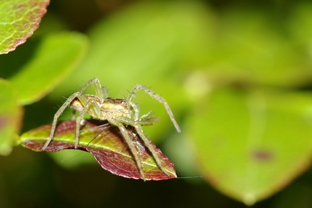 pisaura mirabilis: Raft spider, dolomedes fimbriatus with prey on green leaf, macro photo