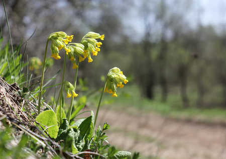 officinal: Cowslip flowers (Primula veris) on a spring meadow, close-up, selective focus and place for text
